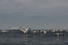 Gannets som flyger över hav, ytbehandlar Arkivbilder