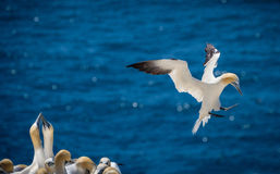 Gannets, St. Mary`s Ecological Reserve, Newfoundland Royalty Free Stock Photography