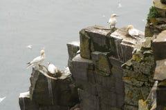 Gannets sulle rocce Fotografia Stock