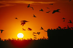 Gannets at sunset Stock Images