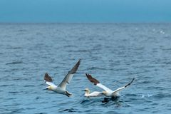 Gannets taking off from the ocean stock photo