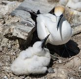 Gannet with her young. A proud mother gannet admires her offspring. One of many fledglings in a colony of gannets at Muriwai, near Auckland, New Zealand Stock Photos