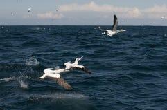 Gannets Unosić się Zdjęcia Royalty Free