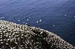 Gannets Vogel Sanctua am Umhang-Str.-Marys Lizenzfreies Stockbild