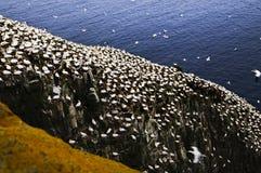 Gannets Vogel Sanctua am Umhang-Str.-Marys Stockbild