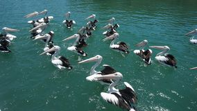 Gannets w tweed próby rzece zdjęcia stock