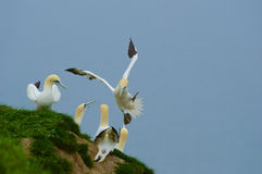 Gannets watching one of their colony members landing Stock Image