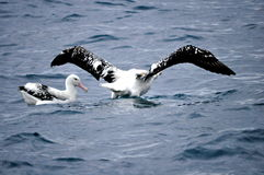 Gannets in the water in New Zealand royalty free stock photos