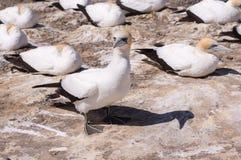 gannetskugga Arkivfoton