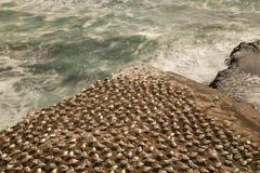 Gannett-Kolonie auf einem geformten Felsen des Dreiecks ?ber dem wilden Ozean an Muriwai-Strand auf der Westk?ste von Neuseeland stockbilder