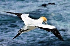 Gannit,海鸥 库存图片