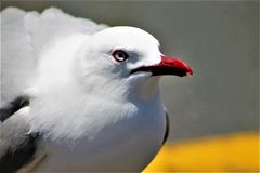 Gannit, mouette images stock