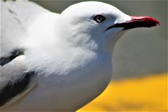 Gannit, mouette image stock