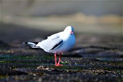 Gannit, seagull Στοκ φωτογραφίες με δικαίωμα ελεύθερης χρήσης