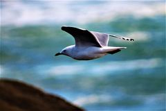 Gannit, seagull Στοκ εικόνες με δικαίωμα ελεύθερης χρήσης