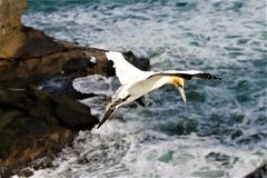 Gannit, seagull Στοκ εικόνα με δικαίωμα ελεύθερης χρήσης