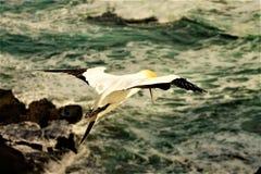 Gannit, seagull Στοκ Φωτογραφία