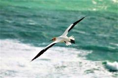 Gannit, seagull Στοκ Φωτογραφίες