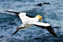 Gannit, seagull Στοκ Εικόνες