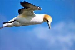 Gannit, seagull Στοκ φωτογραφία με δικαίωμα ελεύθερης χρήσης