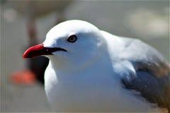Gannit, seagull Stock Image