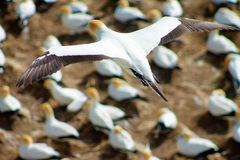 Gannit, seagull Stock Photography