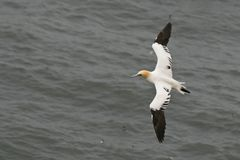 Gannnet. A gannet in flight over the wild sea Stock Photo