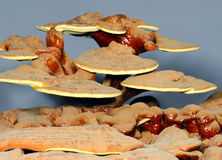 Ganoderma Royalty Free Stock Photos