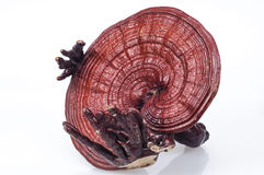 Ganoderma Stockfotos