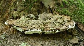 Ganoderma applanatum fungus. Bracket fungus on a tree trunk called Bear Bread. The scientific name is Ganoderma applanatum royalty free stock photo