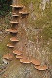 Ganoderma applanatum fungus Royalty Free Stock Photos