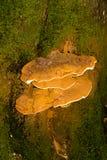Ganoderma Applanatum konsolsvamp arkivbild