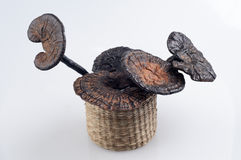 Ganoderma stock images