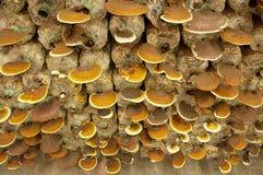 Ganoderma In The Mushroom Farm