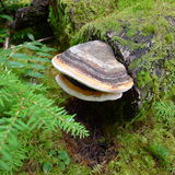 Ganoderma lúcido (cogumelo de Lingzhi) Imagens de Stock Royalty Free