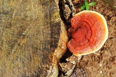 Ganoderma Lucidum - гриб Ling Zhi. Стоковое Изображение RF