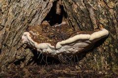 Ganoderma Lucidum (林芝蘑菇) 免版税库存照片