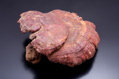 Ganoderma lucidum Stock Photos