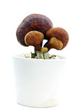 Ganoderma Lucidum Photo stock