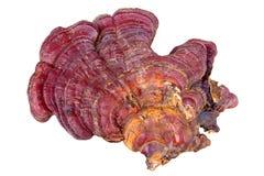 Ganoderma Lucidum。 库存照片