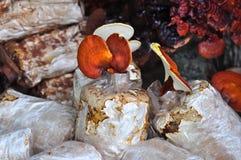 Ganoderma lucidum 免版税库存照片