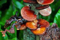 Ganoderma lucidum 图库摄影