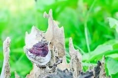 Ganoderma Lucidum aime grandir en bois sec photos libres de droits