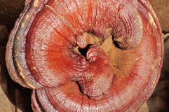 Ganoderma lucidum. Close-up! It is a precious medicinal materials in China, can treat many diseases Stock Photos