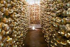 Ganoderma Lucidum, das im Bauernhof wächst. Lizenzfreie Stockbilder