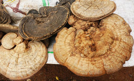 Ganoderma Lucidum Royalty Free Stock Photo