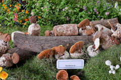 Ganoderma lucidum in exhibition Royalty Free Stock Photography