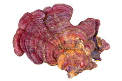 Ganoderma Lucidum. Stock Photo