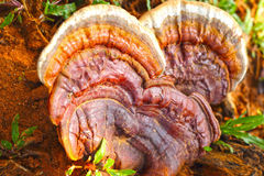 Ganoderma lucidum - Ling Zhi Mushroom. fotografia stock libera da diritti