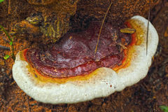 Ganoderma Lucidum - Ling Zhi Mushroom. Royalty Free Stock Photography